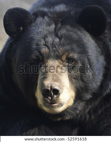 american black bear male adult close up full frame of big furry head face, california. large predator similar brown or grizzly kodiak bear. - stock photo