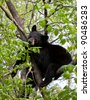 American black bear resting in a tree - stock photo