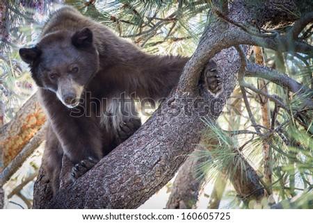 American black bear (Ursus americanus) - stock photo