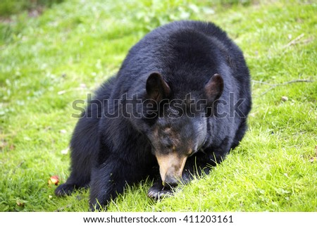 American black bear, Ursus americanus, is common in America