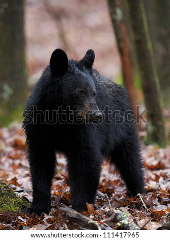 American Black Bear / Ursus americanus standing on a bed of Oak tree leaves in the Smoky Mountains of Tennessee - stock photo