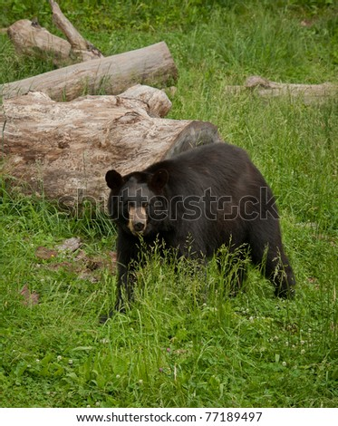 American Black Bear (Ursus-americanus) with green grass background. - stock photo