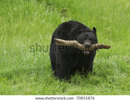 American Black Bear with stick on grass background - stock photo