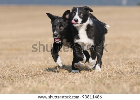 American Border Collie portrait - stock photo