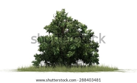 american boxwood - separated on white background - stock photo