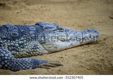 american brown alligator resting on the sand beside a river - stock photo