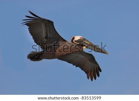 American brown pelican flies overhead - stock photo