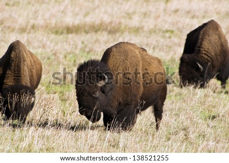 American Buffalo. - stock photo