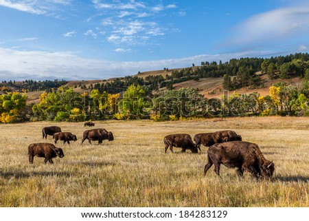 American buffalo herd in Custer State Park, South Dakota, USA - stock photo