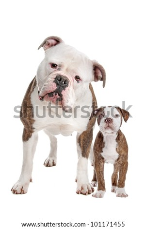 American Bulldog Adult and puppy in front of a white background - stock photo