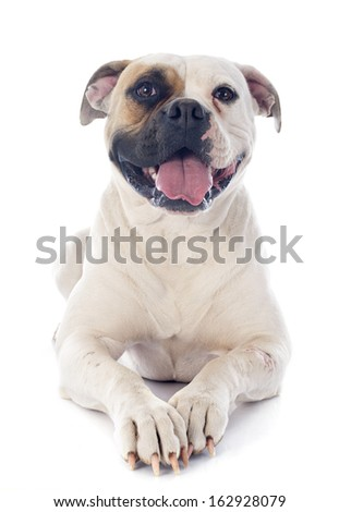 american bulldog in front of white background