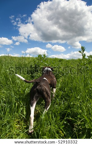 American bulldog in grass at the meadow and sky with clouds