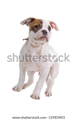 American bulldog isolated on a white background