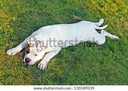 american bulldog lying on the grass - stock photo