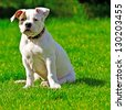 American bulldog sitting on the grass. - stock photo