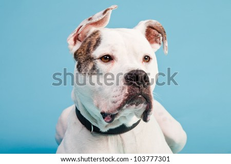brown and white american bulldog white boxer dog stock photo 478936 shutterstock 6328