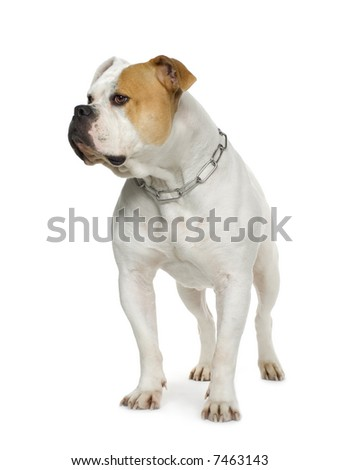 American Bulldog (4 years) in front of a white background