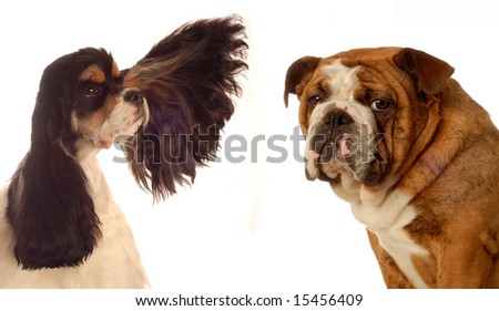 american cocker spaniel and bulldog - champion bloodlines - stock photo