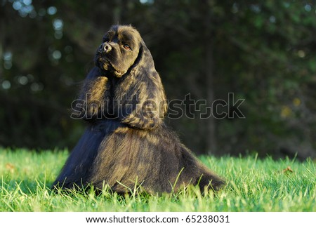 american cocker spaniel champion dog sitting in the grass - stock photo