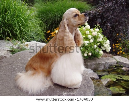 American Cocker Spaniel (champion show dog) - stock photo