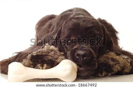 american cocker spaniel chewing on doggy bone - stock photo