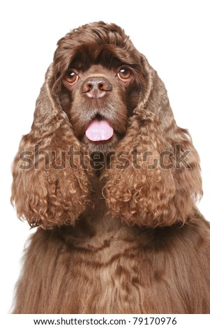 American cocker spaniel Close-up portrait on white background - stock photo