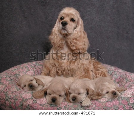 American Cocker Spaniel dam and her litter of puppies - stock photo