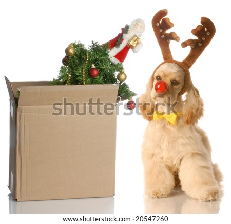 american cocker spaniel dressed up as rudolph sitting beside christmas tree that is packed up in a box - stock photo