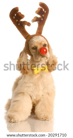 american cocker spaniel dressed up as rudolph the red nosed reindeer - stock photo