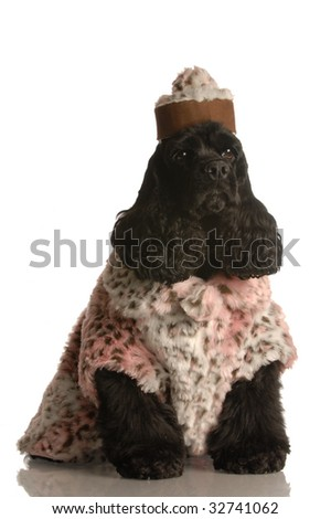 american cocker spaniel dressed up in fur coat and hat - stock photo