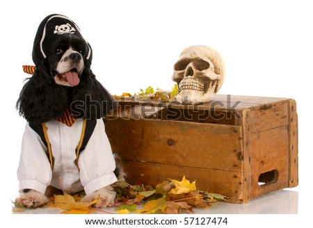 american cocker spaniel dressed up like a pirate - stock photo