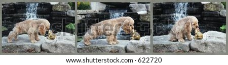 American Cocker spaniel going to kiss a toad in sequence - stock photo