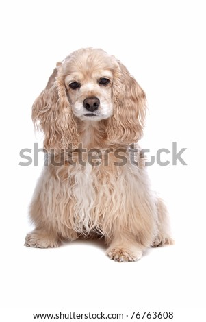 American Cocker Spaniel in front of a white background - stock photo