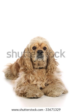 American Cocker Spaniel, isolated on white background - stock photo