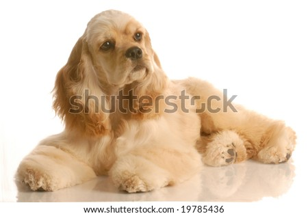 american cocker spaniel laying down  - six months old - stock photo
