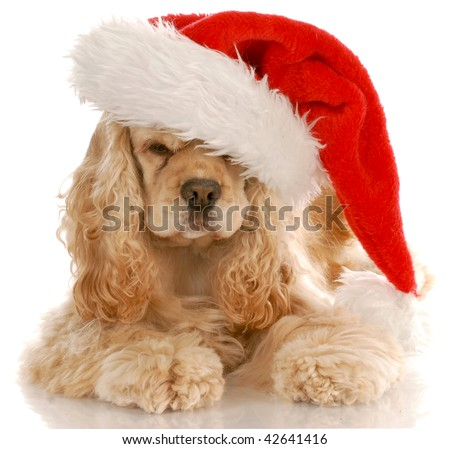 american cocker spaniel laying down wearing santa hat with reflection on white background - stock photo