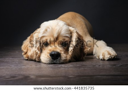 American cocker spaniel lying on dark background. Young purebred Cocker Spaniel. - stock photo