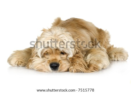 American Cocker Spaniel (7 months) in front of a white background