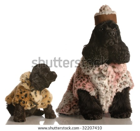 american cocker spaniel mother and puppy in fur coats - stock photo