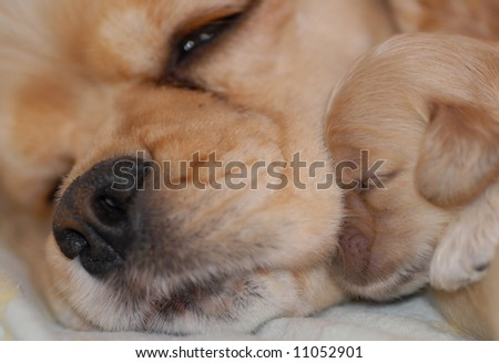 american cocker spaniel mother with her one week old puppy - champion bloodlines - stock photo