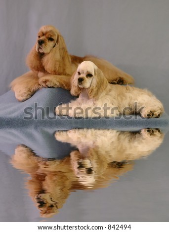 American Cocker Spaniel portrait of father and son - stock photo