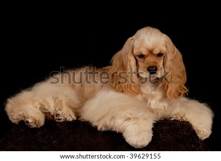 american cocker spaniel portrait on black background - stock photo