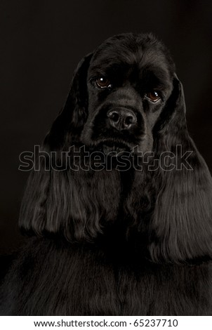 american cocker spaniel portrait on black background - champion dog - stock photo