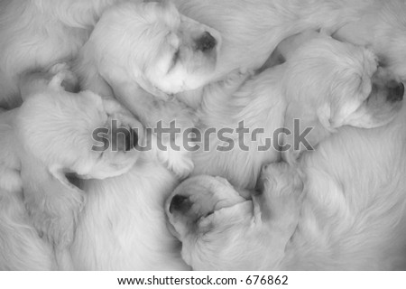 American cocker spaniel puppies sleeping (black and white) - stock photo