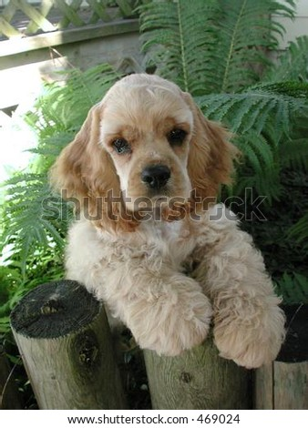 American Cocker Spaniel puppy - stock photo