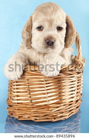 American Cocker Spaniel puppy - stock photo