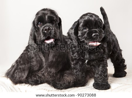 American Cocker Spaniel  puppy and his mother - stock photo