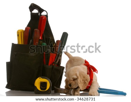 american cocker spaniel puppy chewing on tools sitting beside large tool pouch - stock photo