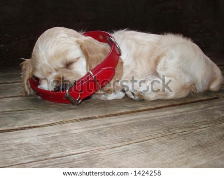 American Cocker Spaniel puppy dreaming of growing into big size collar (6 weeks old - champion stock) - stock photo