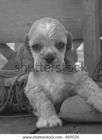 American Cocker Spaniel puppy in work boot - stock photo